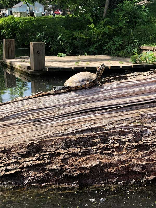 turtle on the riverbed
